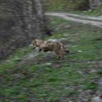 Il lupo scappa